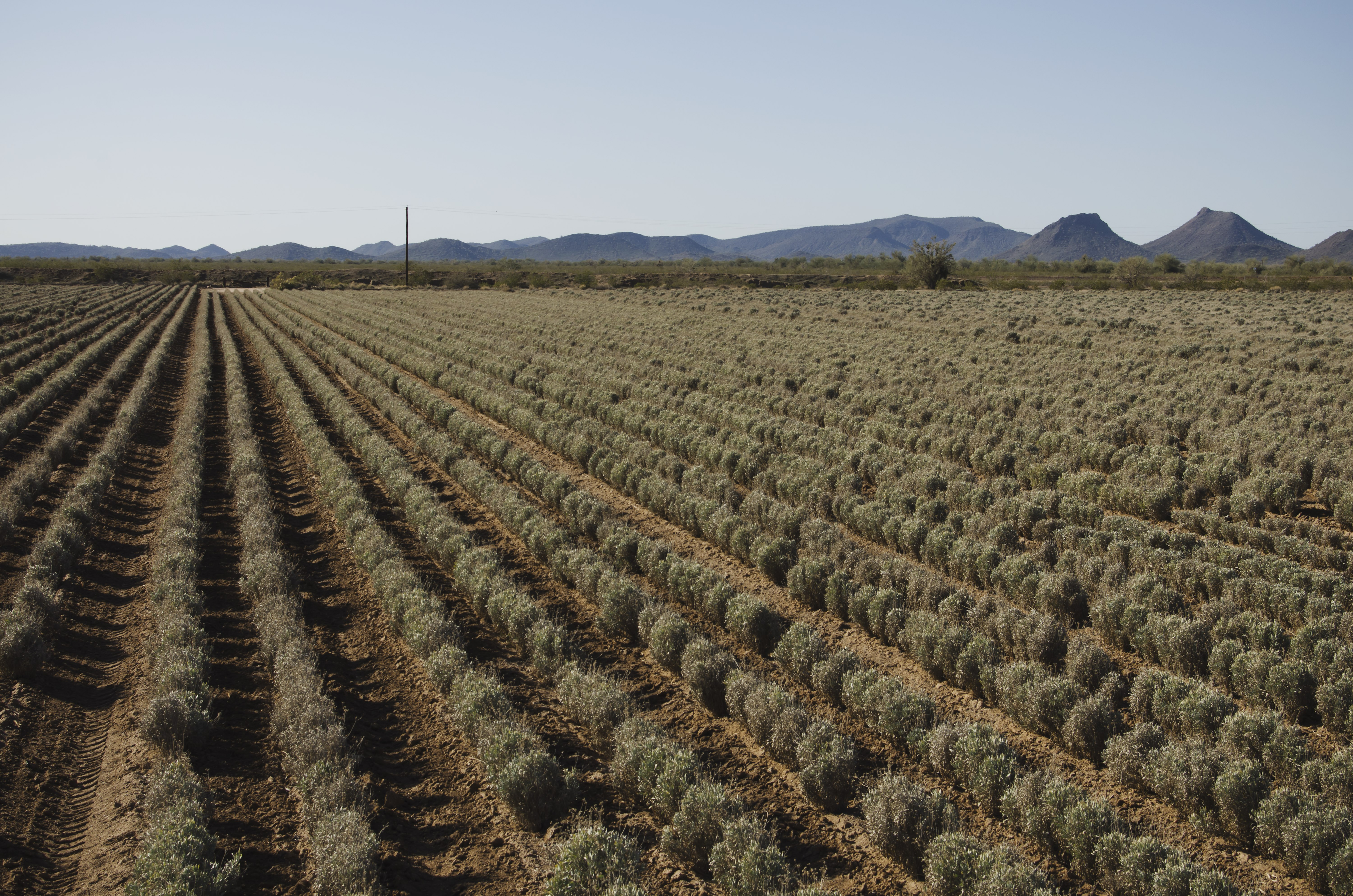 Cooper reports progress on guayule research