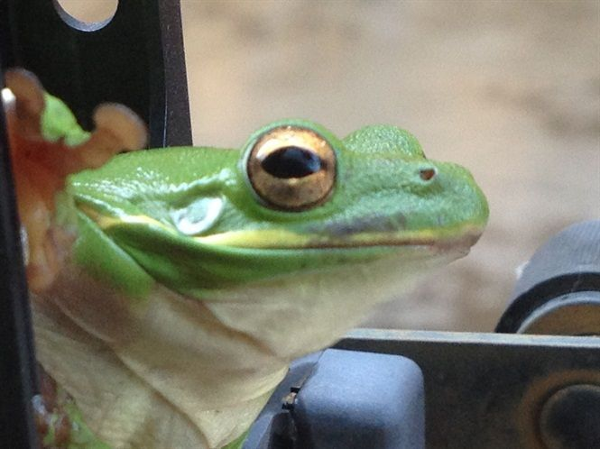 Mitch Moore, a bus technician at Hoover (Ala.) City Schools, spotted this rather large frog...