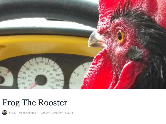 Rooster Greets Girl at School Bus Stop