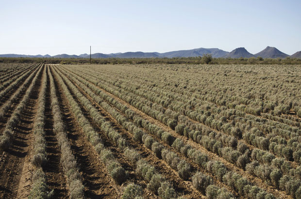 Why Guayule? Cooper Looks for a Substitution for Natural and Synthetic Rubber and Finds it in a Native Southwest Shrub