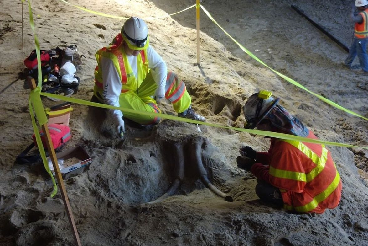 Unearthing the skull and tusks of possibly a mammoth or mastadon. Photo: Metro