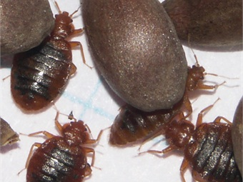 Scientists Map Bedbug Genome Follow Pest Through Nyc Subway Rail