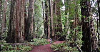 California's coast redwoods can grow taller than a 30-floor skyscraper and live more than 2,000 years. Photo by Buzz Hoffman, Flickr Creative Commons