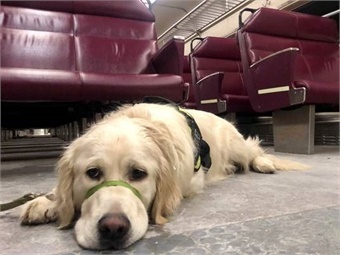 GOFI trainers used the MBTA commuter rail service to help socialize their service dogs by exposing them to various sights, sounds and smells that they need to ignore as they maintain focus on their human partners. Photo: Keolis