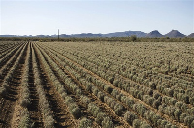 Regions in the U.S. southwest are perfect for growing guayule. Mike Fraley, CEO of PanAridus, says that although he knows of no other country currently planting guayule, arid regions in Australia, India and China could be suitable.
