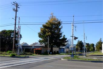 SMART is reviewing options to save a rare green and white Chimera Coast Redwood tree located within a planned railroad right-of-way.