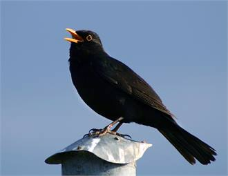 Singing blackbird photo: Malene via Wikimedia Commons