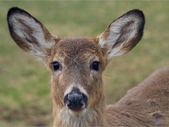 Hundreds of deer stray onto train tracks across Japan causing widespread rail disruption. Photo: Creative Commons