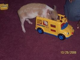 A pig investigates a toy bus in this photo by Charlene Penney from Vendetti Bus Co. in Milford,...