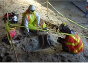 [Photos] Elephant's ancestor bones unearthed during L.A. rail dig
