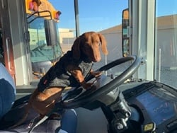 Litchfield Elementary School District #79 adopted Floyd, a seven-month-old miniature Dachshund, to provide support to its transportation department. Photo courtesy Tommy Sims