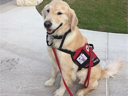 Flint, a seizure-detection dog for a student at Dripping Springs (Texas) Independent School District, is trained to put his head in the student's lap when it senses she is about to have a seizure so that the staff can take measures to protect the student.