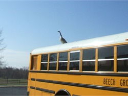 Fred Shonk, retired driver and trainer for Beech Grove (Ind.) City Schools, caught this Canada goose taking a break on the roof of his bus. Shonk joked that the bus-loving bird, which he dubbed Godfrey, could serve as an effective backup alarm.