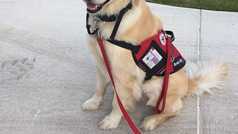 Flint, a seizure-detection dog for a student at Dripping Springs (Texas) Independent School...
