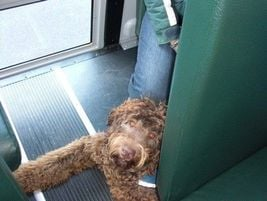 This dog was one of several that received training as a service animal on how to correctly enter...