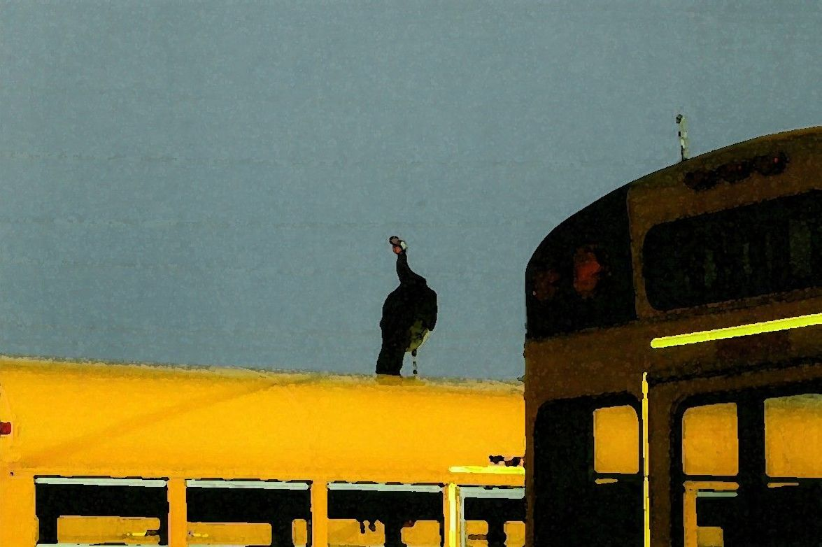 Have you had a turkey perch on top of your school bus? This shot was submitted to us, with the...