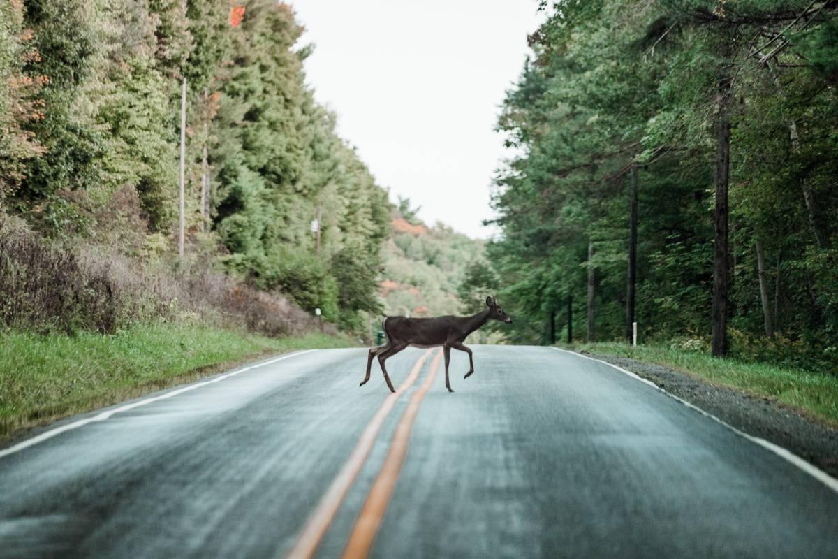 Motorists Hit 2.1 Million Animals in One-Year Period