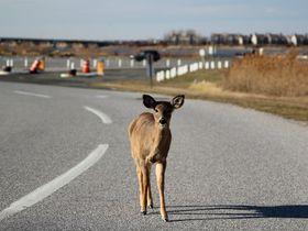 Animal-Strike Collisions Highest in November