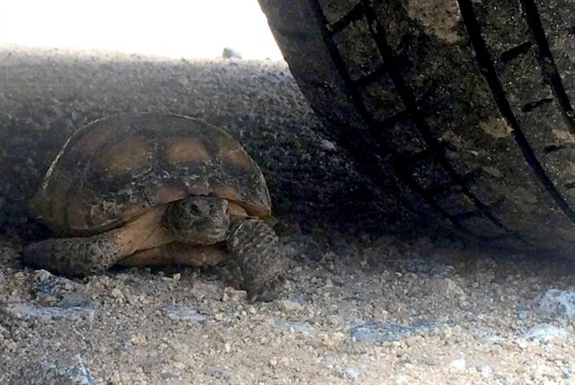 Crushing a tortoise by simply driving away from a worksite was an ever-present risk during the SCE project. (Credit: Jack Goldfarb)