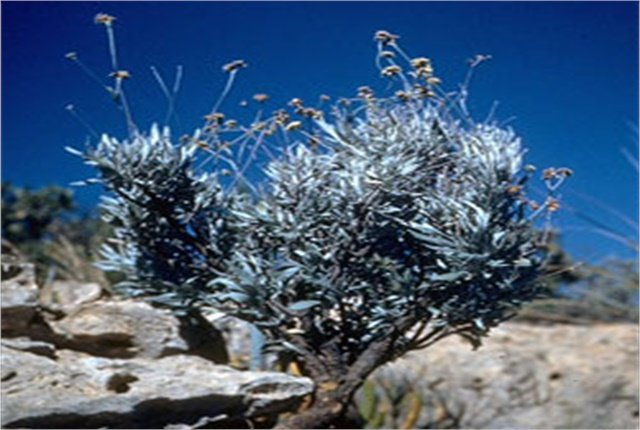 Guayule is a shrub that grows in the Southwest and produces a rubber that can be used in tires.