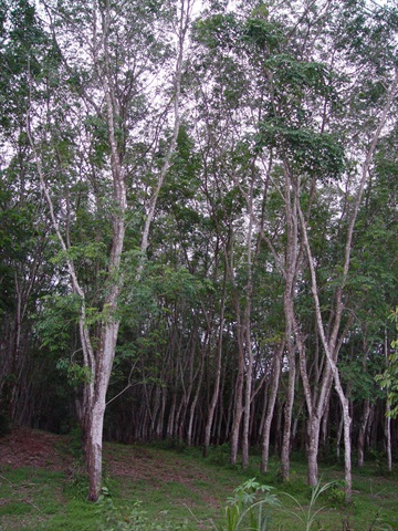 Natural rubber is havested from the hevea trea as a liquid, much like maple syrup is harvested from a maple tree.