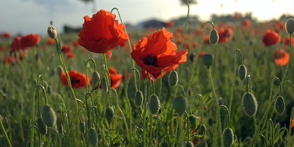 """In Flanders fields, the poppies blow..."" -- John McCrae"