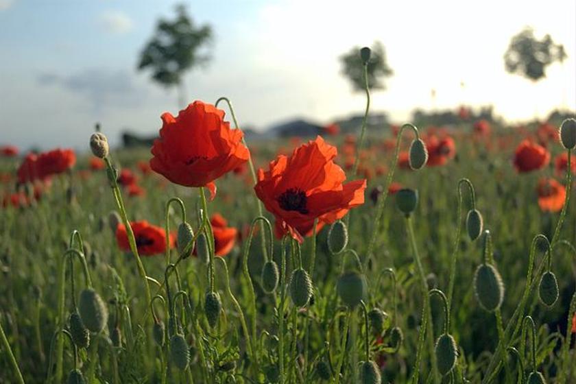 """""""In Flanders fields, the poppies blow..."""" --John McCrae"""