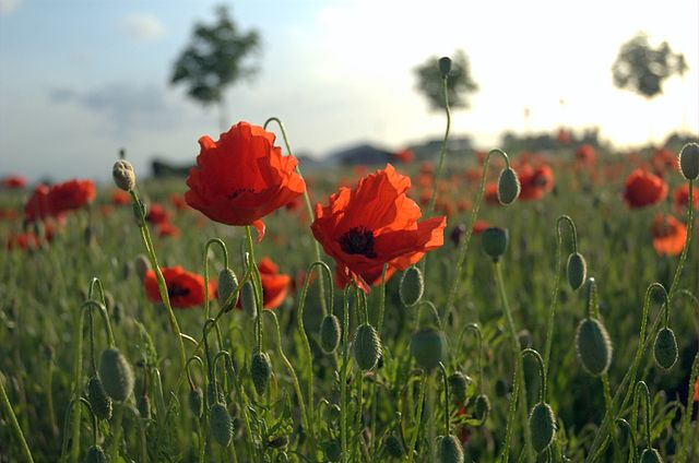 """In Flanders fields, the poppies blow..."" --John McCrae  - Photo: Wikimedia Commons"