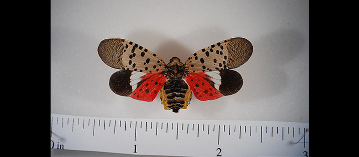 Spotted lanternfly adult (pinned) with wings spread reveals bright red coloration on hindwings.