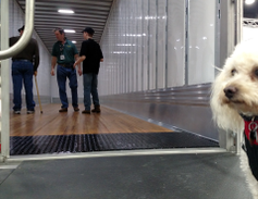 """""""Can I go in there?"""" Snag, a personable and well-behaved bichon frise, waitedoutside a Hyundai..."""