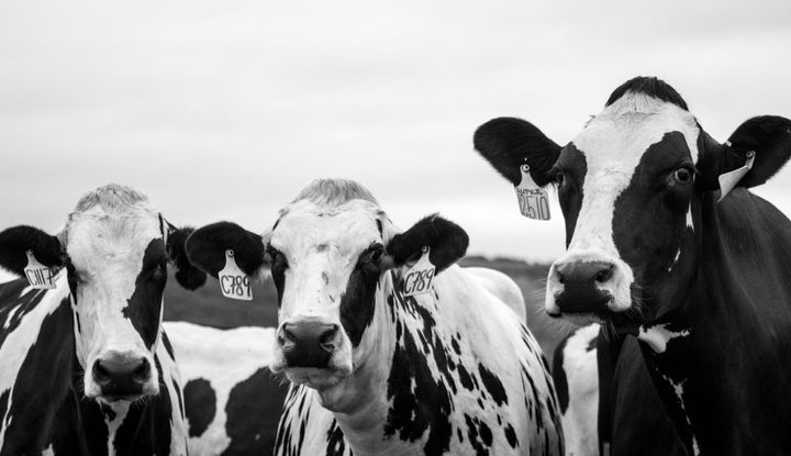 The energy production potential in the U.S is 148 trillion Btu from beef cows and 31 trillion Btu from dairy cows, which gives a total of 179 trillion Btu per year of available cow power.