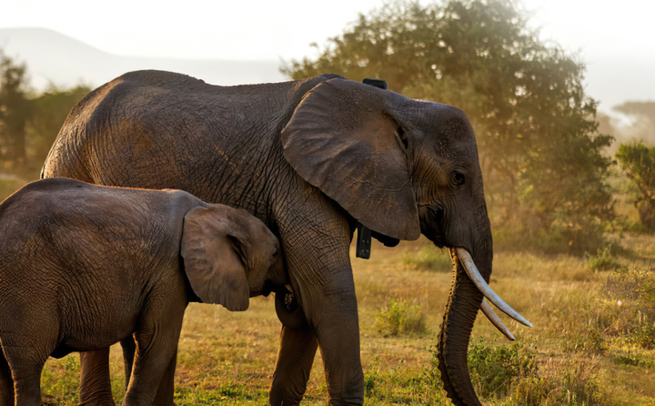 ORBCOMM's ubiquitoussatellite connectivityis critical to enabling AWT to track and monitor animals in their natural habitats. - Photo: ORBCOMM